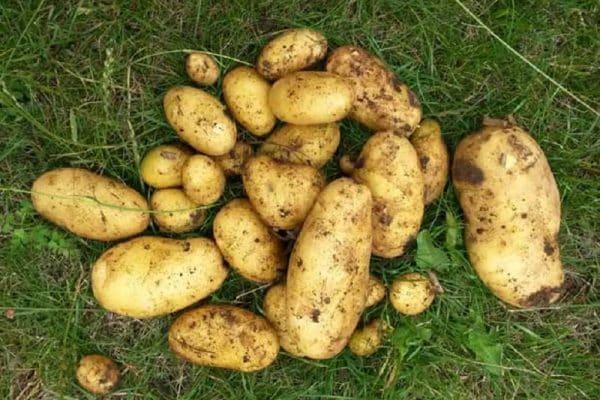Quand planter des pommes de terre avec la lune ?