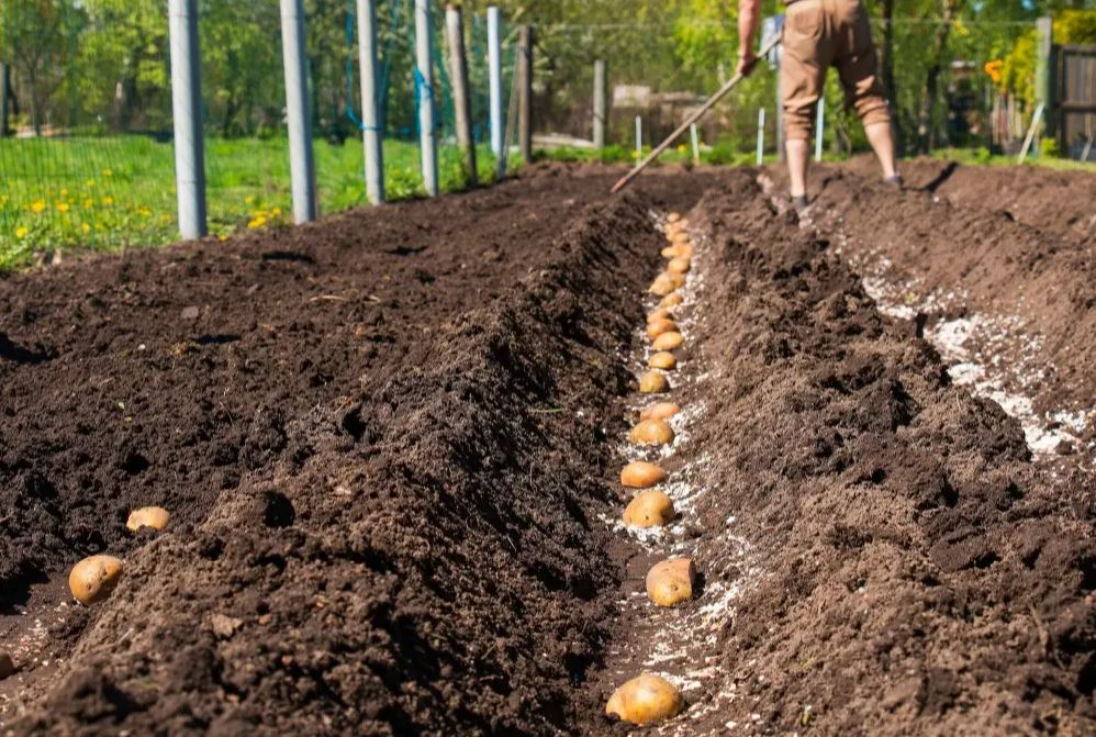 culture de pomme de terre