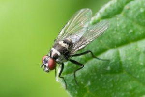 Les mouches sont-elles sales?